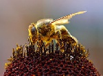 241511x150 - دانلود تحقیق زنبور عسل